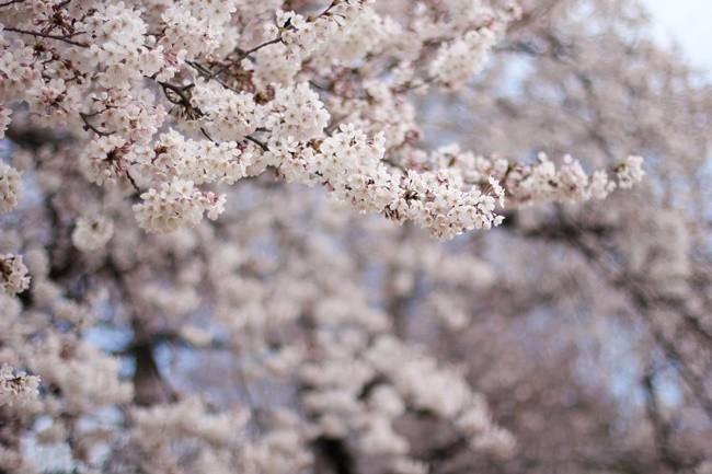 cherry-blossom-shinkjuku-5-of-60