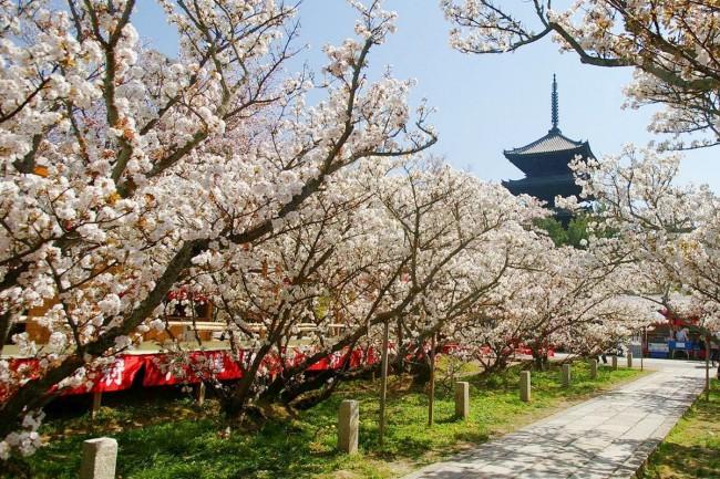 62 omuro sakura ninnaji temple