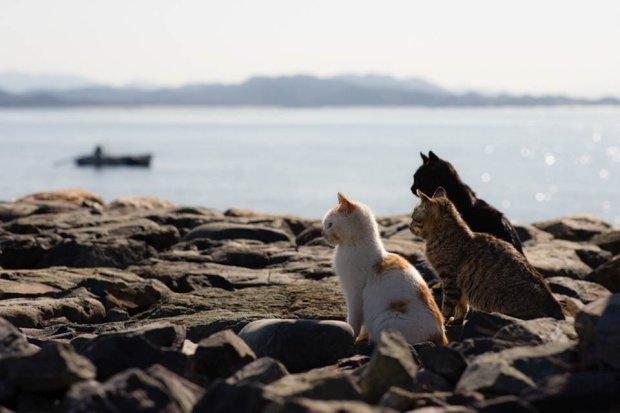 z16795245Q,Koty-z-Ainoshimy--japonskiej-wyspy-kotow