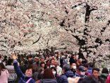 พยากรณ์ซากุระบาน 2016 ทริปนี้ไม่มีพลาด!のサムネイル