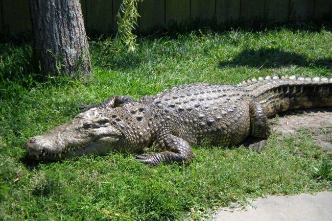 siamese-crocodile