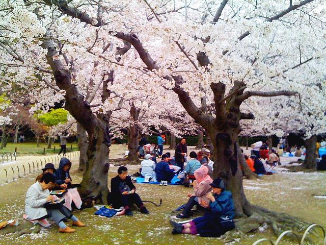 ใบไม้ผลินี้ชวน ชมซากุระญี่ปุ่น ใกล้ชิด ปิกนิก ชื่นมื่นเบนโตะอร่อยที่เกียวโต