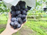 เที่ยวฟินกินจากต้นที่ 6 สวนผลไม้ เมืองโกเบ สดอร่อยได้บรรยากาศのサムネイル