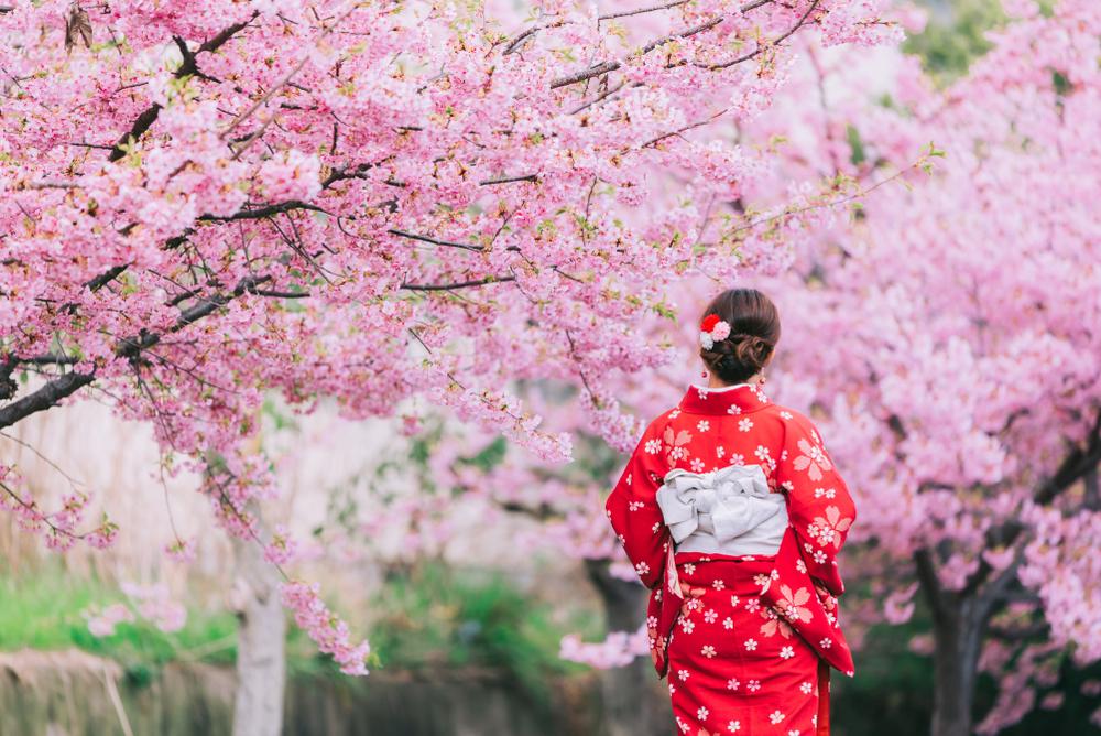 ชมซากุระญี่ปุ่น