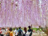 ทริปชวนฝันวันใบไม้ผลิ ชมดอกวิสเทอเรียที่ เมืองโอกาซากิのサムネイル
