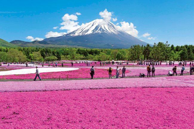Fuji Shibazakura Festival 2018 เริ่มแล้ว! วันนี้ถึง 27 พฤษภาคมเท่านั้น