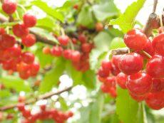ตะลุย 5 สวนผลไม้ฮอกไกโด อร่อยฉ่ำใจ เก็บสบายวิวสวย