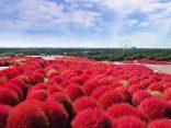 กลับมาอีกครั้ง เทศกาลโคเคียที่ Hitachi seaside park 2018 ชมดอกไม้ในอิบารากิのサムネイル
