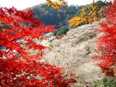 ชมซากุระพร้อมใบไม้เปลี่ยนสี เป็นไปได้ที่ เมือง Obara จังหวัด Aichi