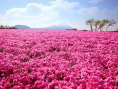 ทัวร์ญี่ปุ่นเมษา ชมสวนดอกไม้เบ่งบานความสุข เห็นวิวฟูจิ กับ WILLER Tour!!!