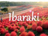 ชวนเข้าไปสู่โลกของ Ibaraki  ดินแดนที่เปลี่ยนสีได้のサムネイル