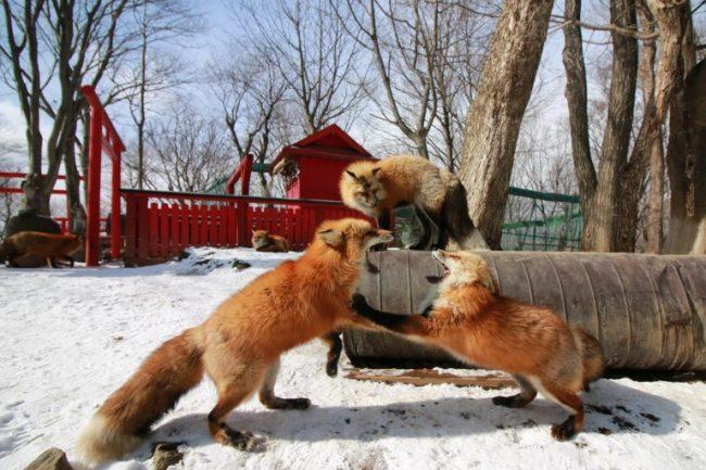 zao-fox-village