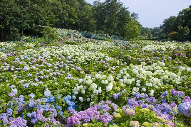 Hydrangea Japan