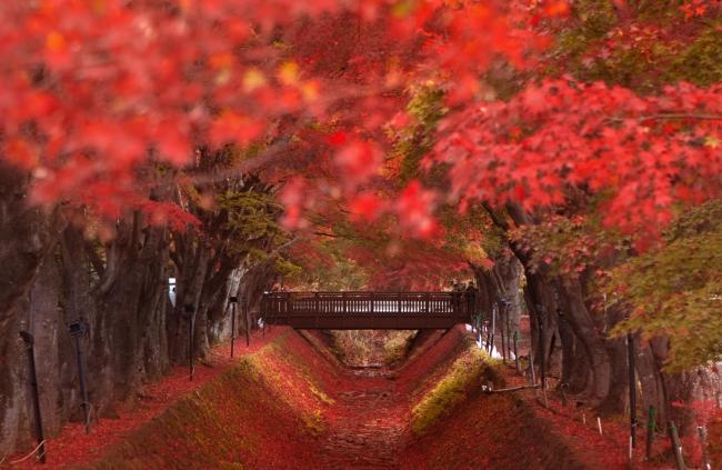 ใบไม้เปลี่ยนสีฟูจิ