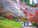เที่ยว โอบาระ ใกล้นาโกย่า ชมซากุระและใบไม้เปลี่ยนสีพร้อมกันในฤดูกาลเดียว