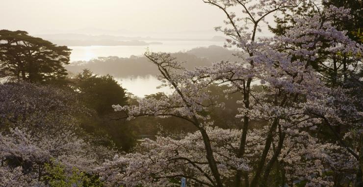ซากุระ โทโฮคุ