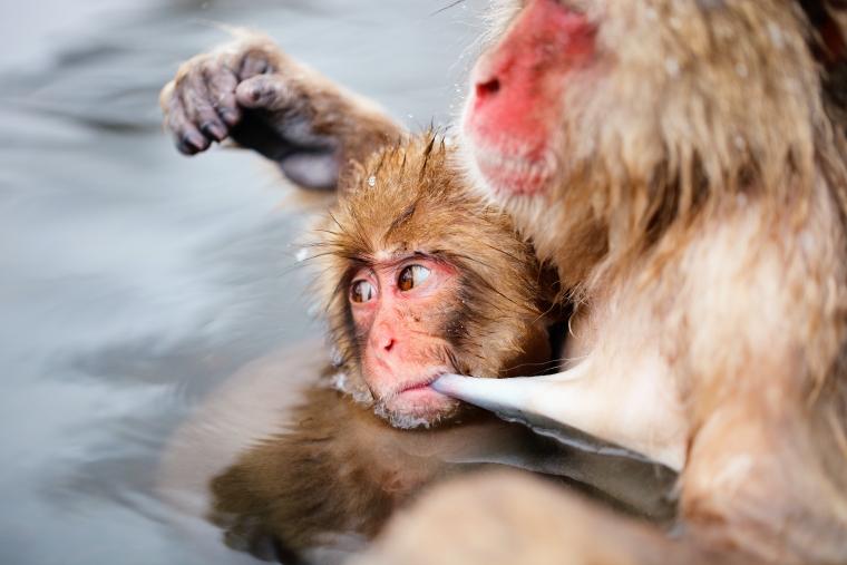 ลิงญี่ปุ่น