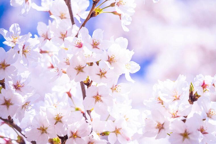 ดอกไม้ประจำชาติญี่ปุ่น